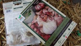 plant stinking rose aka garlic