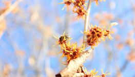 witchhazel early pollinator for February