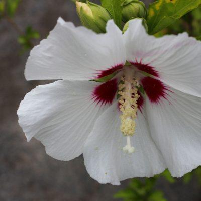Late Flowering Shrubs